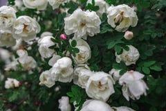 Роза, флористическое, заводы, куст, зеленые цвета, цветки стоковое изображение rf