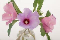 Роза цветков Шерона стоковые изображения