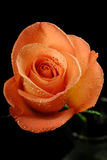 роза черноты предпосылки одиночная Стоковые Изображения