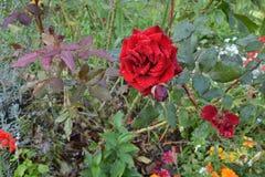 Роза шарлаха, в капельках дождя красивейше очень стоковое фото rf