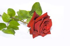 Роза стоковые изображения