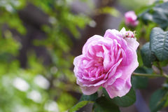 Роза Centifolia подняло цветок des Peintres Стоковое Изображение