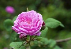 Роза Centifolia & x28; Поднял des Peintres& x29; цветок Стоковая Фотография