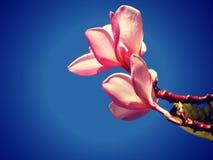 Роза del Desierto Стоковое Изображение RF