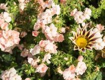 Роза drummonda флокса покрашенная на flowerbed Стоковое Фото