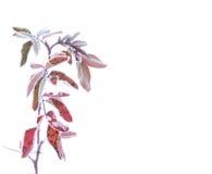 роза hoarfrost одичалая стоковая фотография rf