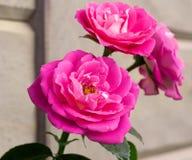 Роза Majora стоковые фото