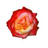 Роза Rad изолированная на белизне Иллюстрация вектора
