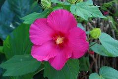 Роза sharon Стоковые Изображения