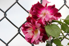 Роза & x27; Фиолетовое Splash& x27; Стоковые Изображения RF