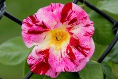 Роза & x27; Фиолетовое Splash& x27; Стоковые Фото
