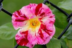 Роза & x27; Фиолетовое Splash& x27; Стоковое Изображение RF