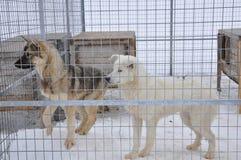 розвальни собак клетки стоковая фотография