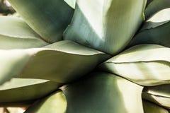 Розетка больших листьев столетника на верхней части Стоковое Фото
