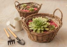 Розетка Sempervivum в корзине стоковое изображение rf