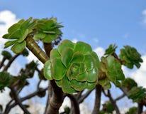Розетки aeonium Стоковые Фото