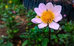 Розоватый белый цветок стоя высокорослый Стоковые Изображения RF