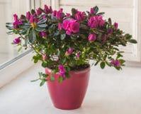 Розовая азалия в красном баке Стоковое фото RF