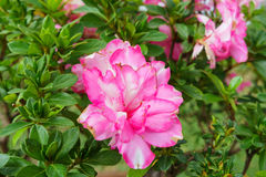 Розовая азалия зацветая, рододендрон азалии, бонзай цветет, сочный розовый цветок Стоковое Изображение RF