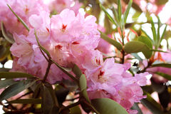 Розовая азалия цветет с капельками воды на лепестках в солнце Поле дождя сада Rodendron Стоковая Фотография RF
