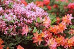 Розовая азалия цветет с капельками воды на лепестках в солнце Поле дождя сада Rodendron Стоковое фото RF