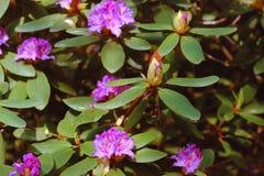 Розовая азалия цветет с капельками воды на лепестках в солнце Поле дождя сада Rodendron Стоковые Изображения