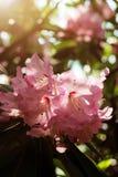 Розовая азалия цветет с капельками воды на лепестках в солнце Поле дождя сада Rodendron Стоковая Фотография