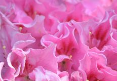 Розовая азалия Стоковое Изображение RF