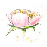 Розовая акварель пиона Взгляд со стороны головы пиона Стоковые Фото