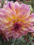 Розовая астра осени Стоковое Изображение RF