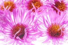 Розовая астра стоковое фото rf