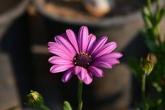 Розовая астра Стоковая Фотография RF