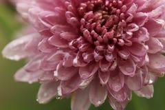 Розовая астра Стоковое Изображение