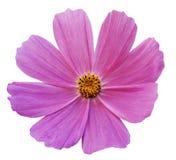 Розовая белизна Kosmeja цветка изолировала предпосылку с путем клиппирования Отсутствие теней closeup Стоковое Изображение RF