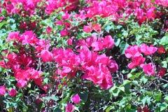 Розовая бугинвилия цветет на заднем плане яркие цвета в Стоковое Изображение RF