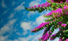 Розовая бугинвилия стоковое фото