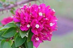 Розовая бугинвилия Стоковая Фотография RF