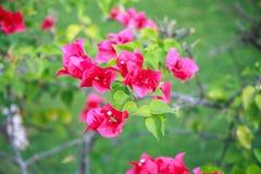 Розовая бугинвилия Стоковые Фотографии RF