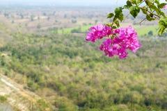 Розовая бугинвилия Стоковые Изображения