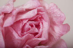 Розовая бумага подняла Стоковые Фотографии RF