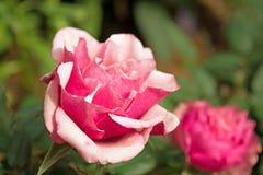 Розовая весна цветет розы Стоковые Изображения