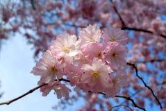 розовая весна Стоковые Изображения RF