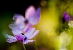 Розовая ветреница в саде Стоковое Изображение