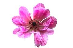 Розовая ветреница на белизне Стоковые Фотографии RF
