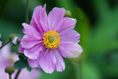 Розовая ветреница цветка Стоковая Фотография RF