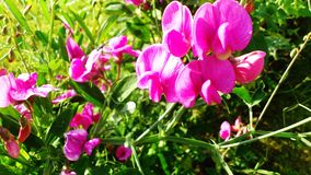 Розовая вика Стоковая Фотография RF