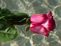розовая розовая вода Стоковое Фото