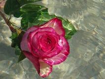 розовая розовая вода Стоковые Изображения