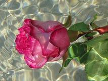 розовая розовая вода Стоковые Фотографии RF