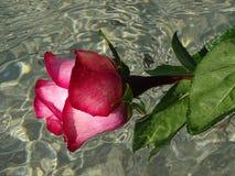 розовая розовая вода Стоковое фото RF
